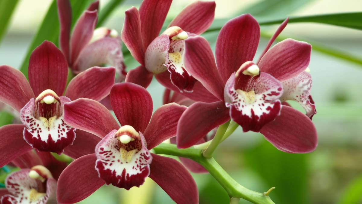 Red Orchid: description, photo, features of care 64