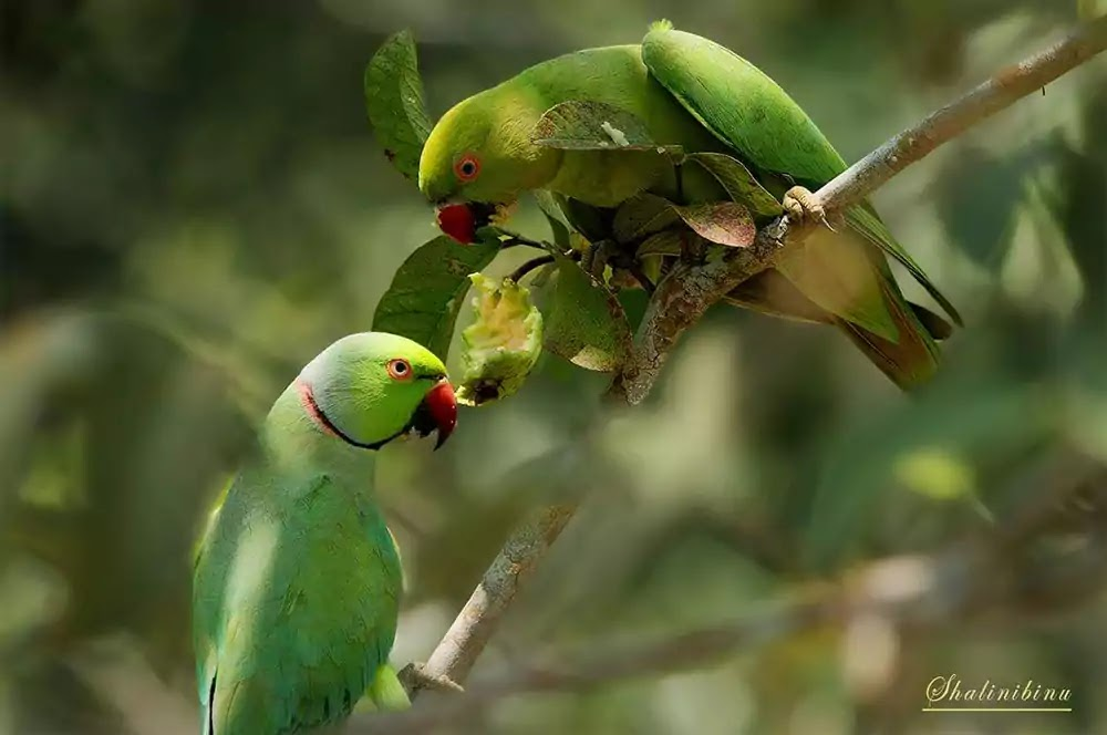 Indian rose ringed parakeet