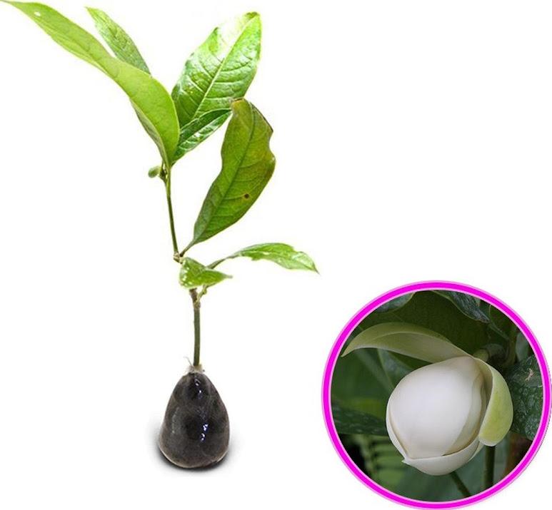 Tanaman Hias Magnolia Coco Bunga Cempaka Telor Palembang