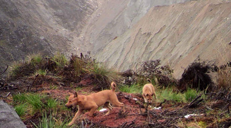 The World's Rarest and Most Ancient Dog Has Just Been Re-Discovered in the Wild
