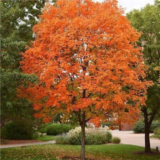 Pohon mapel bisa Ditanam di Indonesia