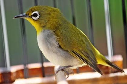 Pleci Auriventer : Perawatan, Ciri-Ciri, dan Harga Lengkap Burung Pleci Auriventer