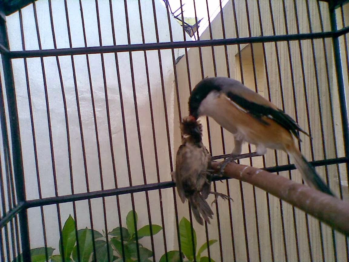 Budidaya Burung: Menangani burung Cendet (Pentet) yang ...