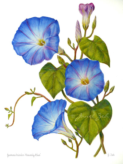 Morning Glory blue flower fine art print