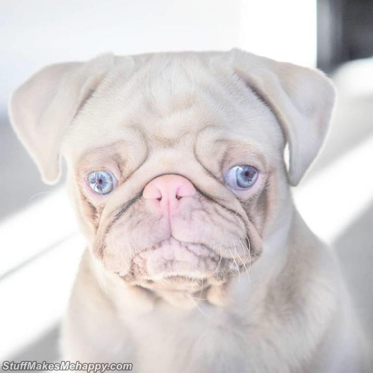 Such an unusual color is not a mutation at all, but an innate feature that was transmitted to the puppy from an albino pug in his line.
