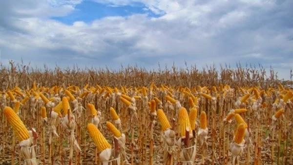 Agricultores da zona rural de Feira de Santana estão apreensivos quando à colheita do feijão e do milho.