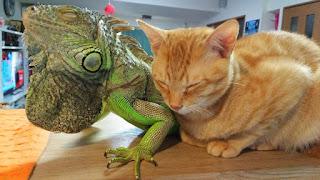 Gato cariñoso usa las escamas de su amigo iguana para rascarse