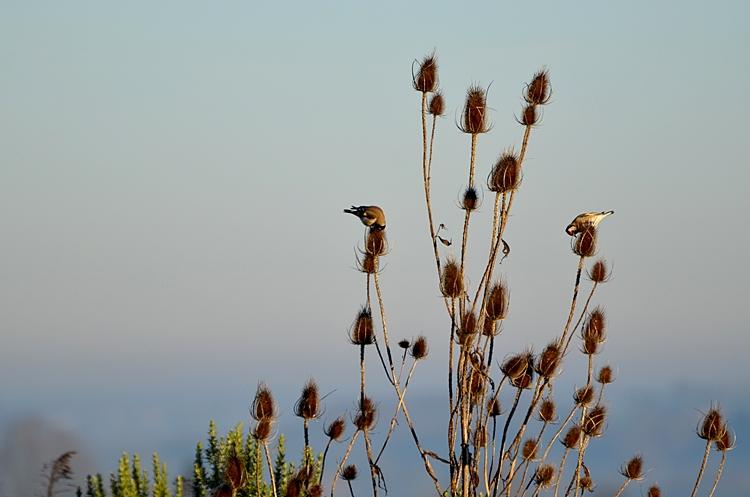 oiseaux chardonnerets