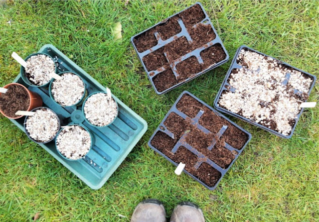 Image shows three seed trays and six plant pots in a green drip tray.  They are all newly planted with seeds.