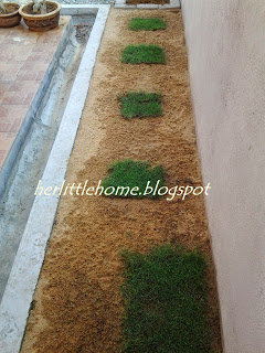 Tips Tanam Rumput Karpet