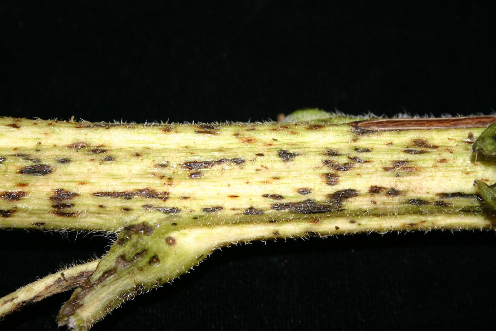 NCSU PDIC: Super Sad Sunflowers: Alternaria leaf and stem spot