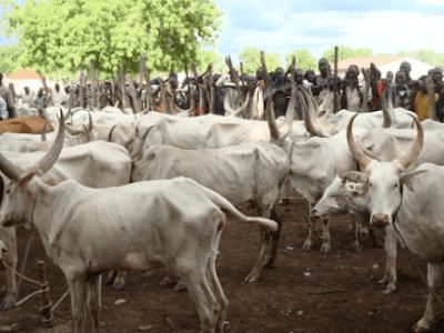 Herdsmen Attack: Jalingo community confiscates 62 cows