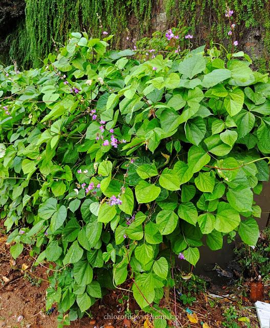 hyacinth bean lablab purpurea wspiega egipska warzywa fasola fasolowate w Chinach vegetables egzotyczne tropikalne rosliny jadalne pokroj uprawa opis pochodzenie lisc
