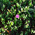 Plantes - Caryophyllales partie 1