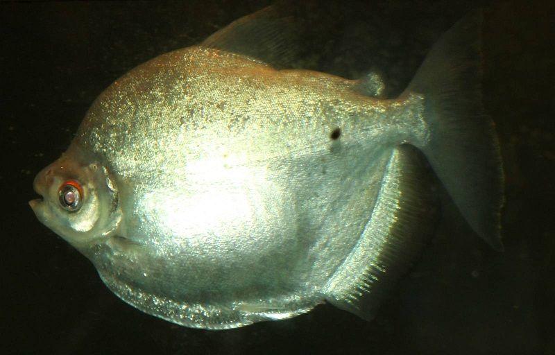 Gambar Jenis Ikan Silver Dollar Silver mylossoma
