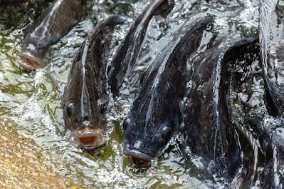 Usaha budidaya ikan nila yang menguntungkan