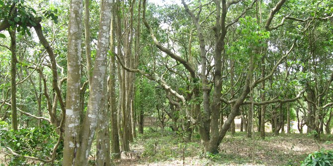 manfaat kayu gaharu secara mistis
