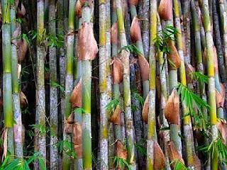 karakteristik-bambu-apus.jpg
