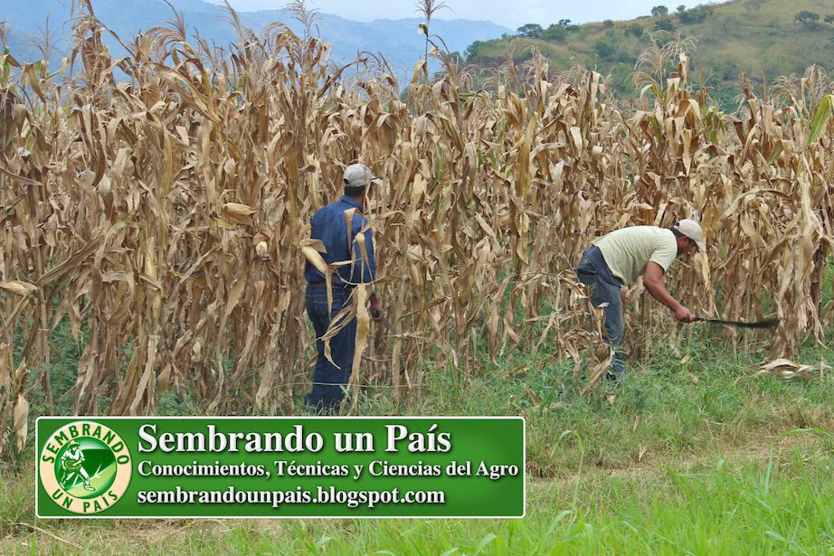 control de malezas en cultivo de maíz
