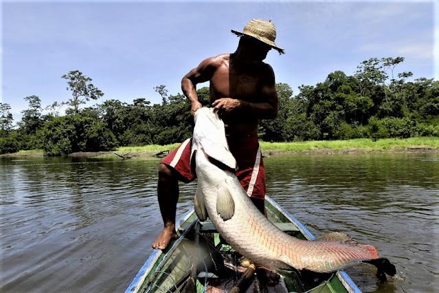 Pesca de pirarucu