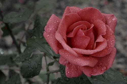 Rosa cor de rosa, gotas de chuva em fundo escuro. #PraCegoVer