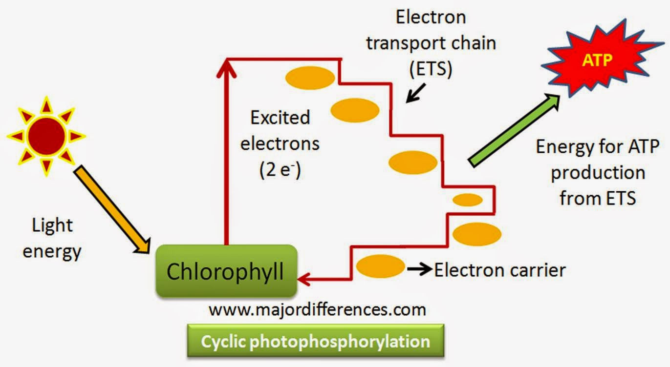 Light Reactions Photosystem Diagram Photocell Switch Wiring Difference Between Cyclic And Non Photophosphorylation An Error Occurred