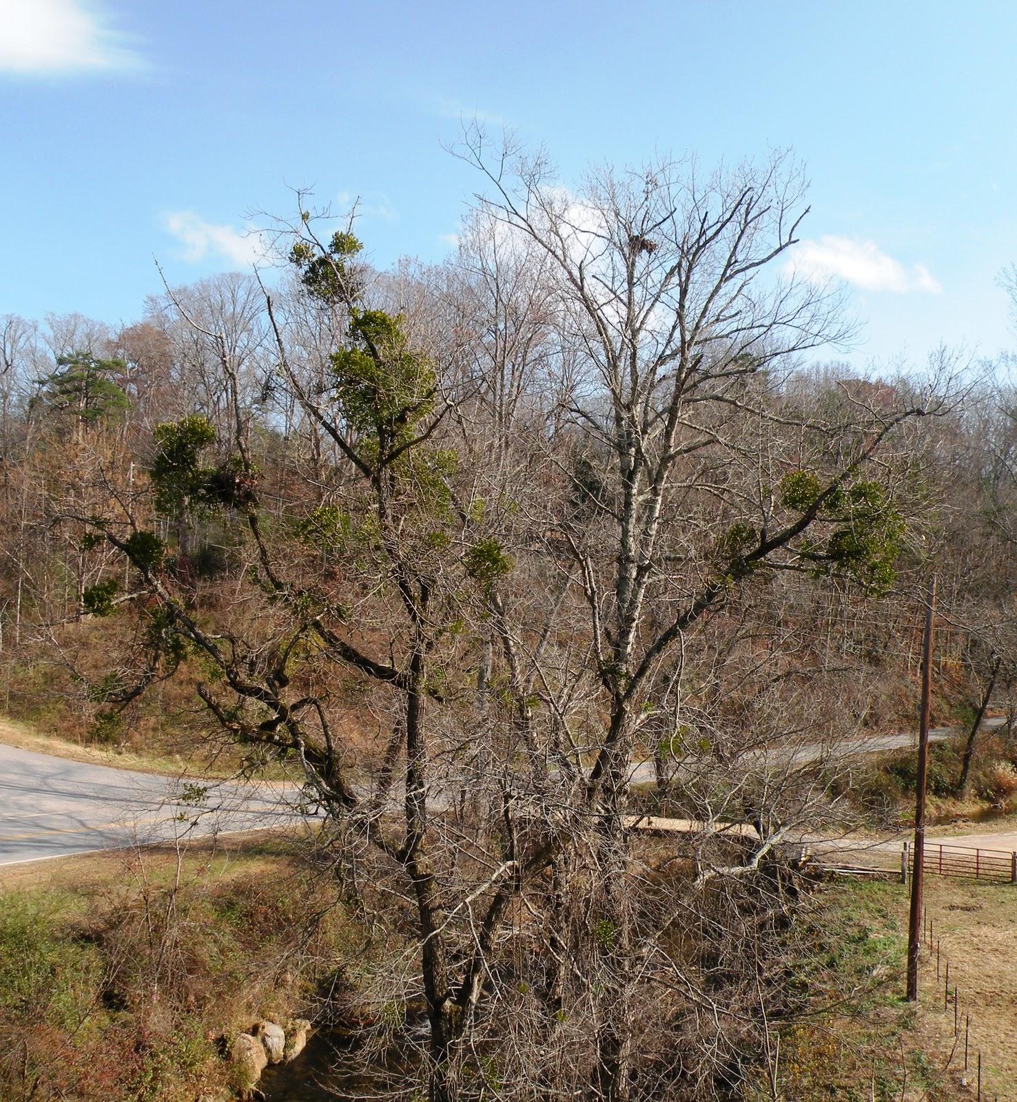 Appalachian Living The Search For Mistletoe