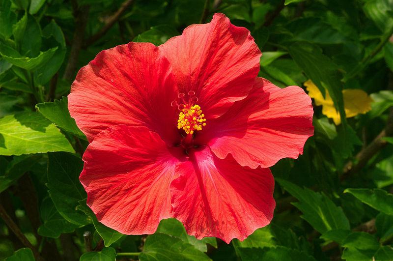 Las plantas para la salud la rosa china hibiscus rosa - Rosas chinas ...
