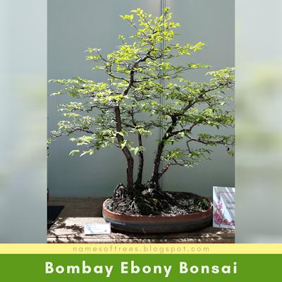 Bombay Ebony Bonsai