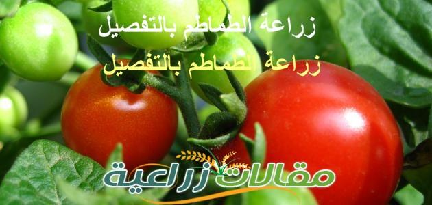 زراعة الطماطم بالتفصيل وبالخطوات ومكافحة امراضها و كل ما يخص محصول الطماطم - مقالات زراعية