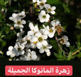 عسل المانوكا، فوائد العسل