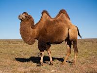 Çift hörgüçlü deve türü