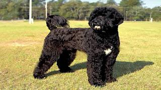Portuguese Water Dog Poodle Mix Temperament, Lifespan, Size, Adoption