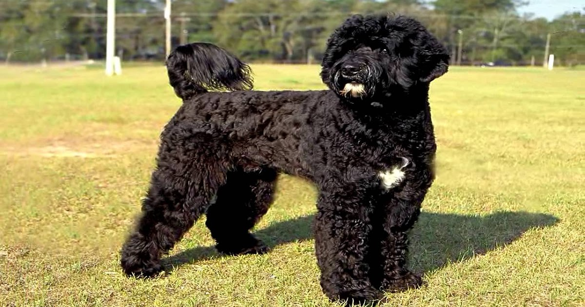 Portuguese Water Dog Poodle Mix