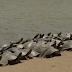 अजीबोगरीब मामला: ब्राजील की नदी में अचानक आई कछुओं की सुनामी, जीव वैज्ञानिक भी हैं हैरान