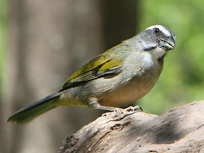 Green winged Saltator