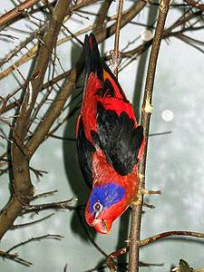 Dalam bahasa Inggris dikenal dengan nama  Mengenal Burung Nuri Sayap Hitam