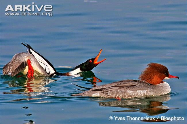 merganser fight