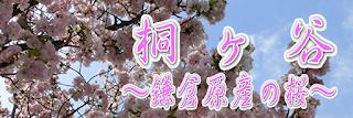 桐ヶ谷〜鎌倉原産の桜〜