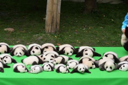 4 Objek Wisata Panda di Cina, Tambah Ilmu dan Bisa Jadi Relawan