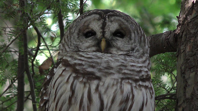 An Adult Barred Owl in the Mt Tom Forest