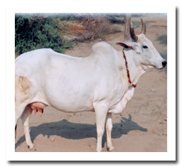 hariana breed of Cattle