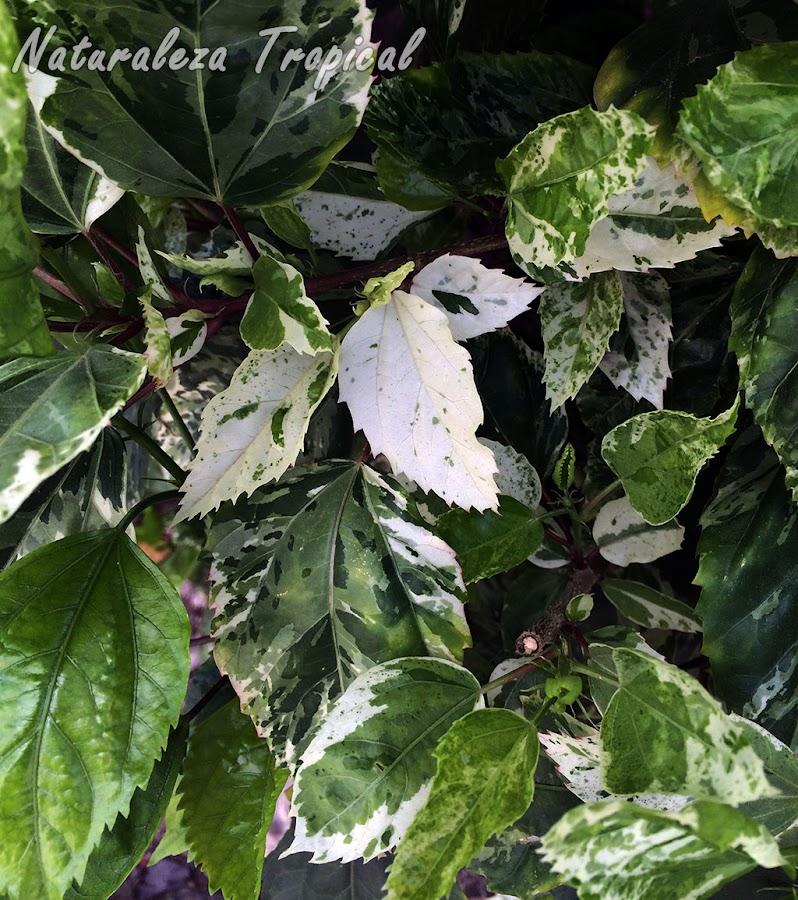 Variegación en hojas de un hibisco, género Hibiscus
