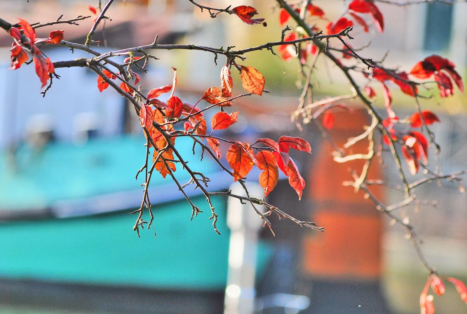 czerwone liście drzewo