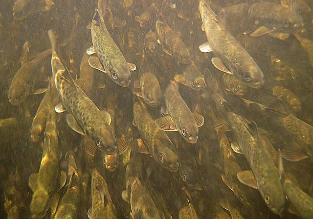paljon kaloja