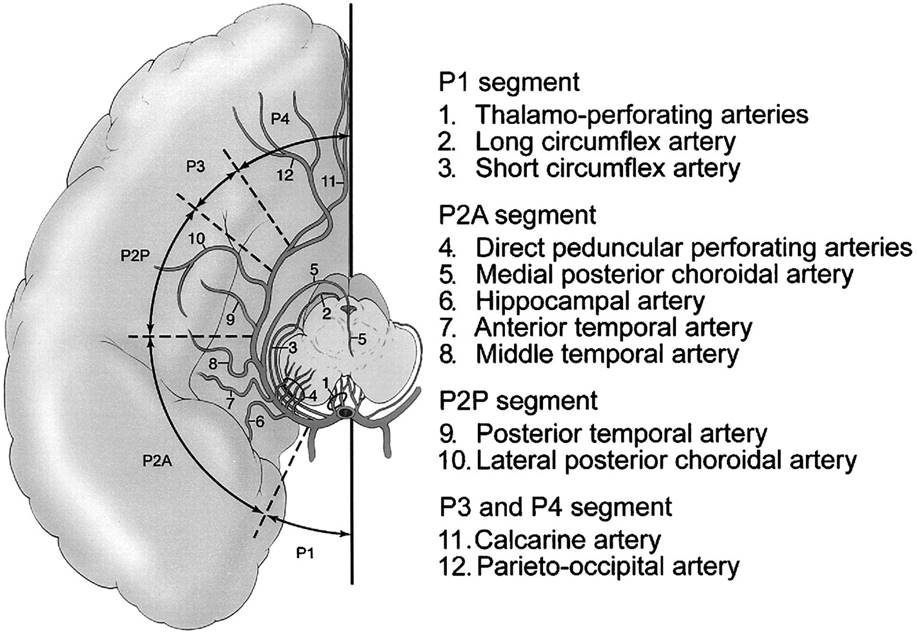 Microsurgical Anatomy of Medial Temporal Lobe | World Surgery Forum