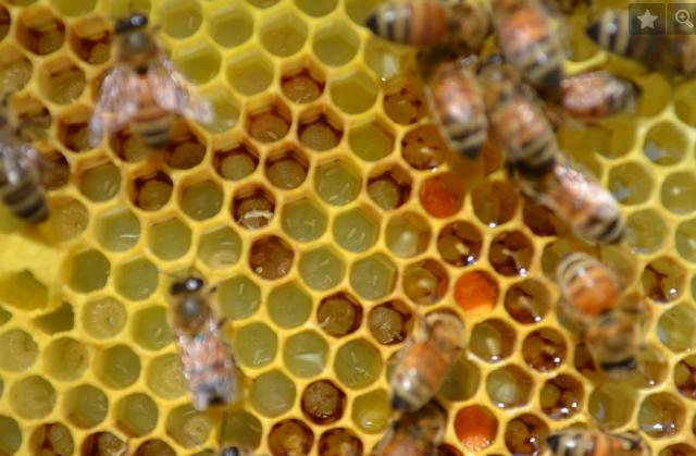 Χειρισμοί μελισσοκόμων για τα αρρενοτόκα μελίσσια