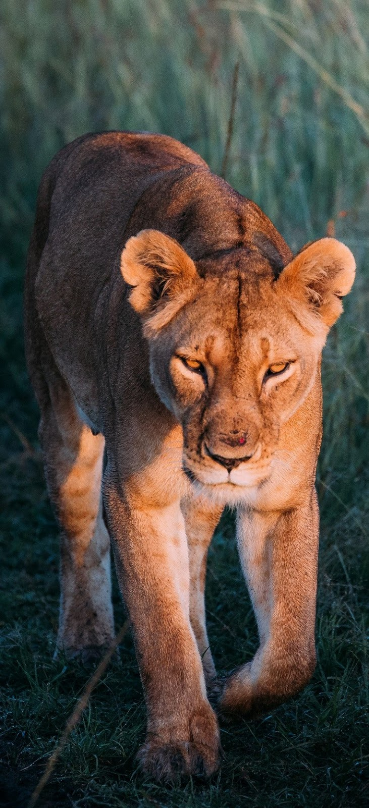 A lioness on patrol.
