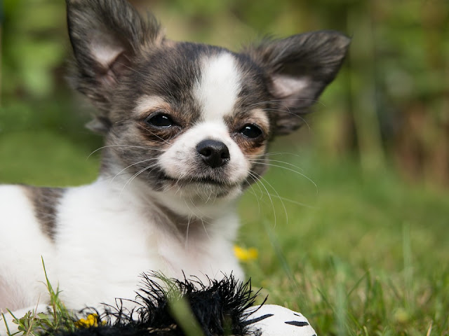 15 of the smallest dog breeds in the world