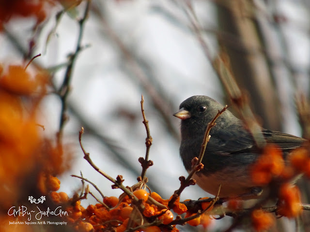 Junco in Sea Buckthorn